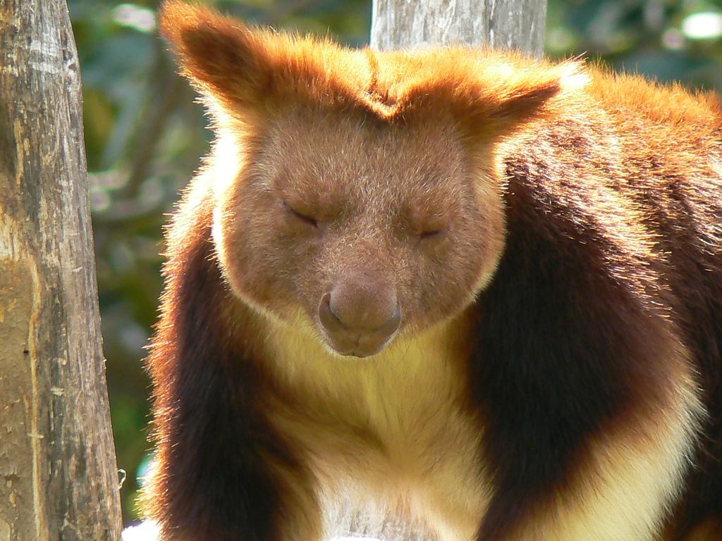 них, фото древесного кенгуру звезды всегда