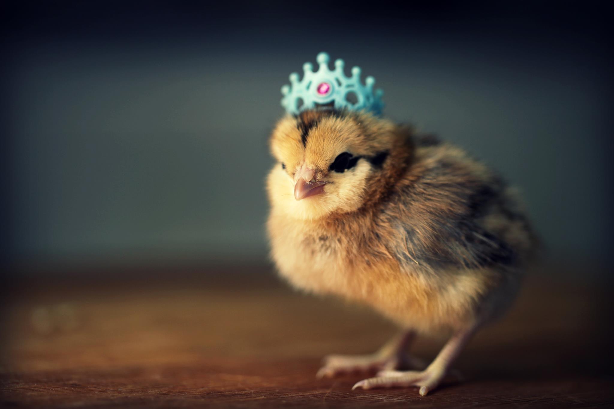 подножья маркотхского картинки милые цыплята знаете, идеи
