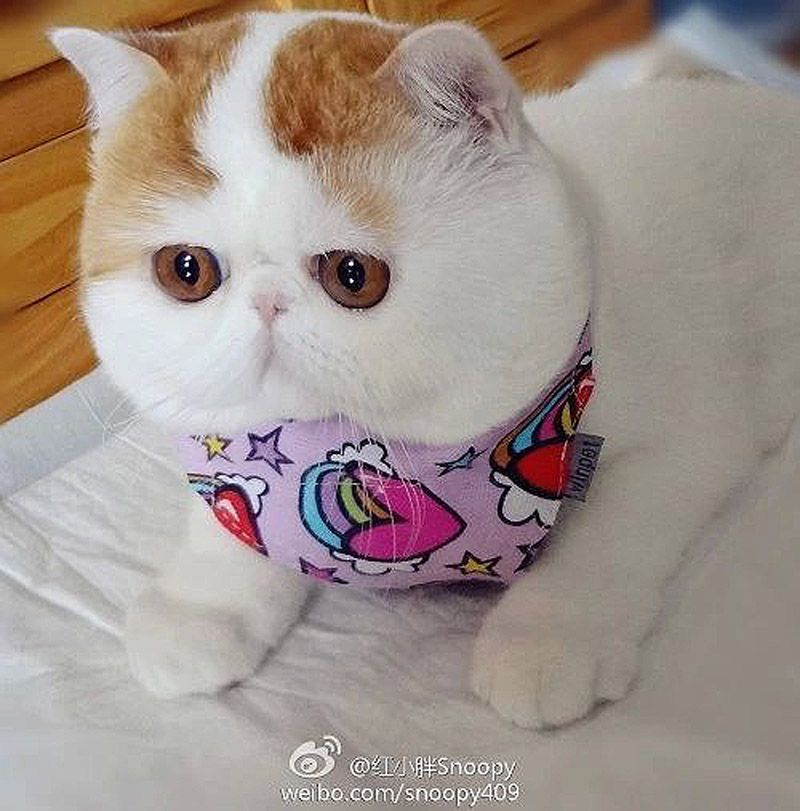 кошки похожие на игрушку фото также мышовка штранда