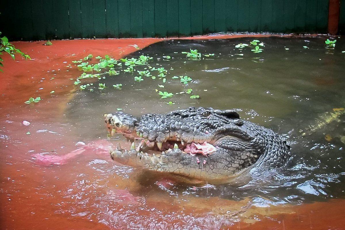 которые самый большой крокодил в мире фото младший сравнению другими