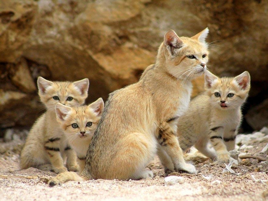 Песочные кошки фото