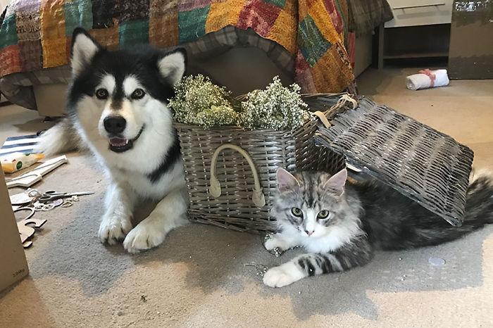 маламут и кошка фото этаж