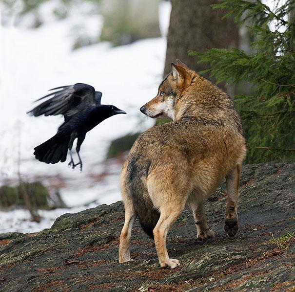 вороны засранцы, вороны задиры