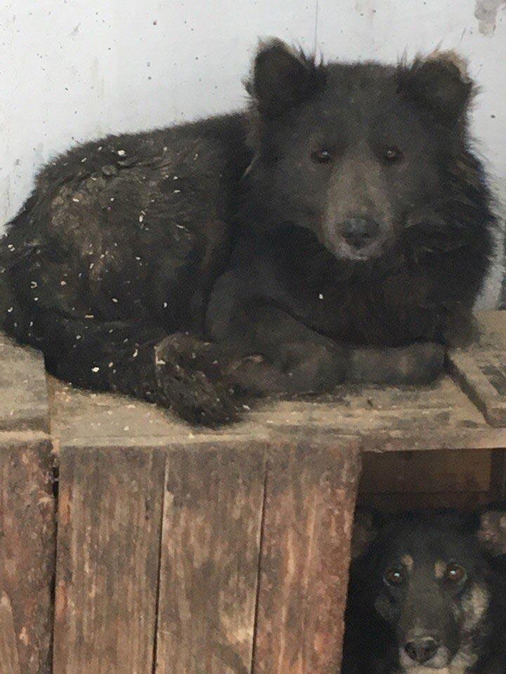 собака похожа на медведя, медведособака, собака выглядит как медведь, собака медведь чау-чау, собака медведь челябинск